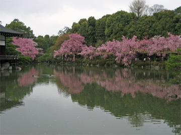 平安神宮の枝垂れ桜です。
